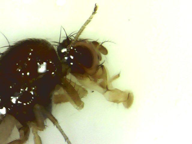 Drosophila_sp._-_zimska_forma.jpg